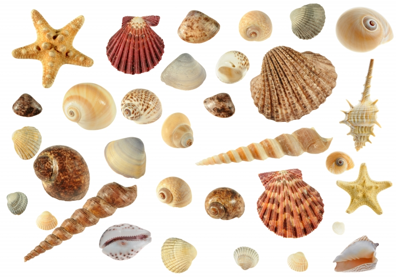 1559367-set-of-sea-cockleshells
