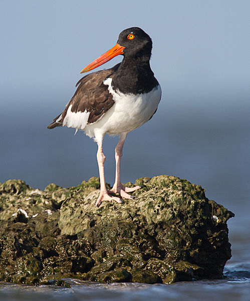 499px-Oyster_catcher_by_Dan_Pancamo