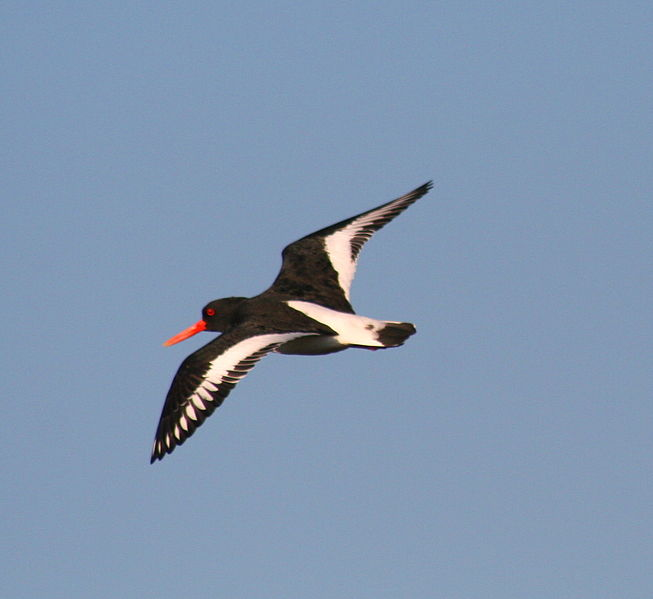 653px-Oyster_Catcher_in_flight_1