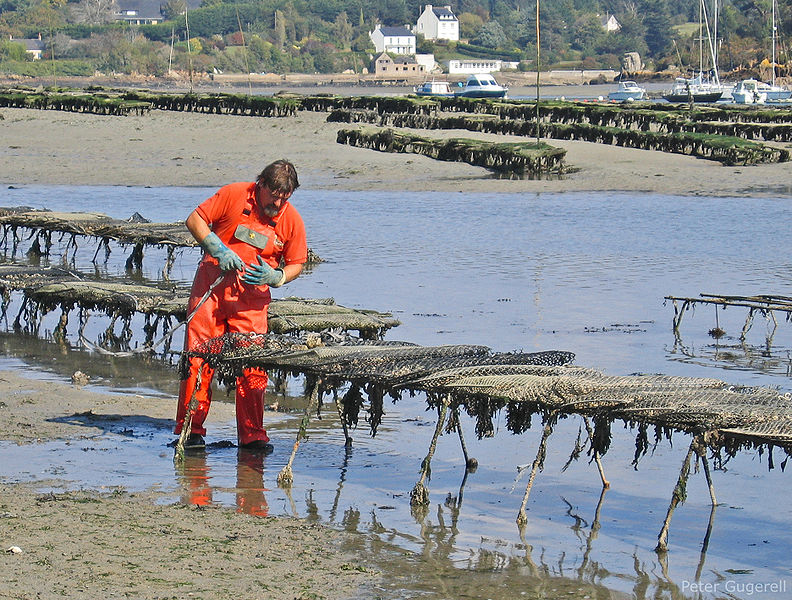 792px-Oyster_culture_in_Belon,_France_03